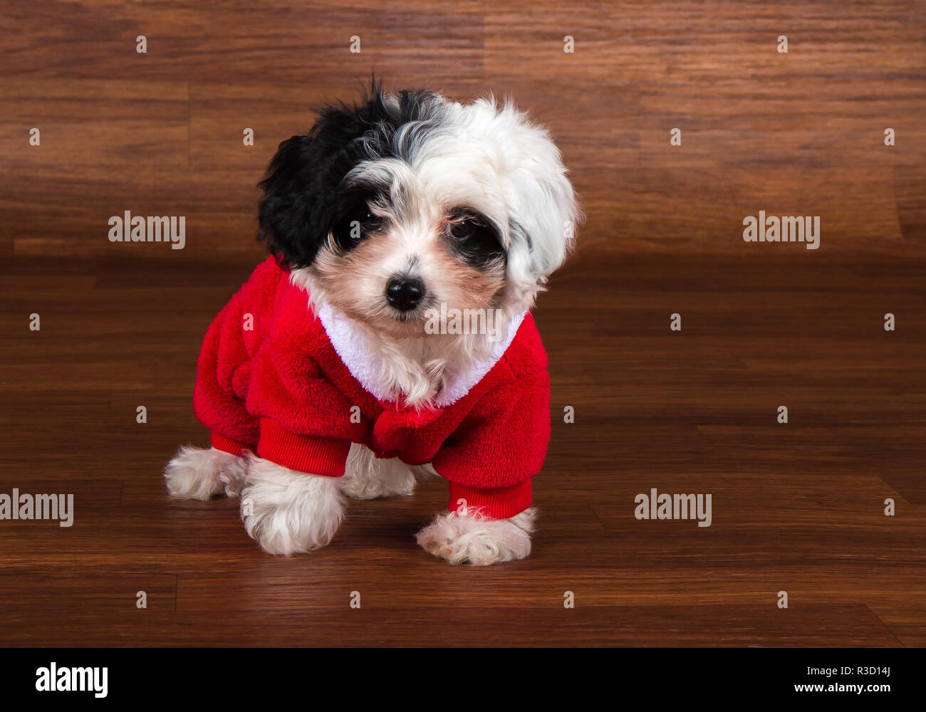 havanese puppy dog Stock Photo