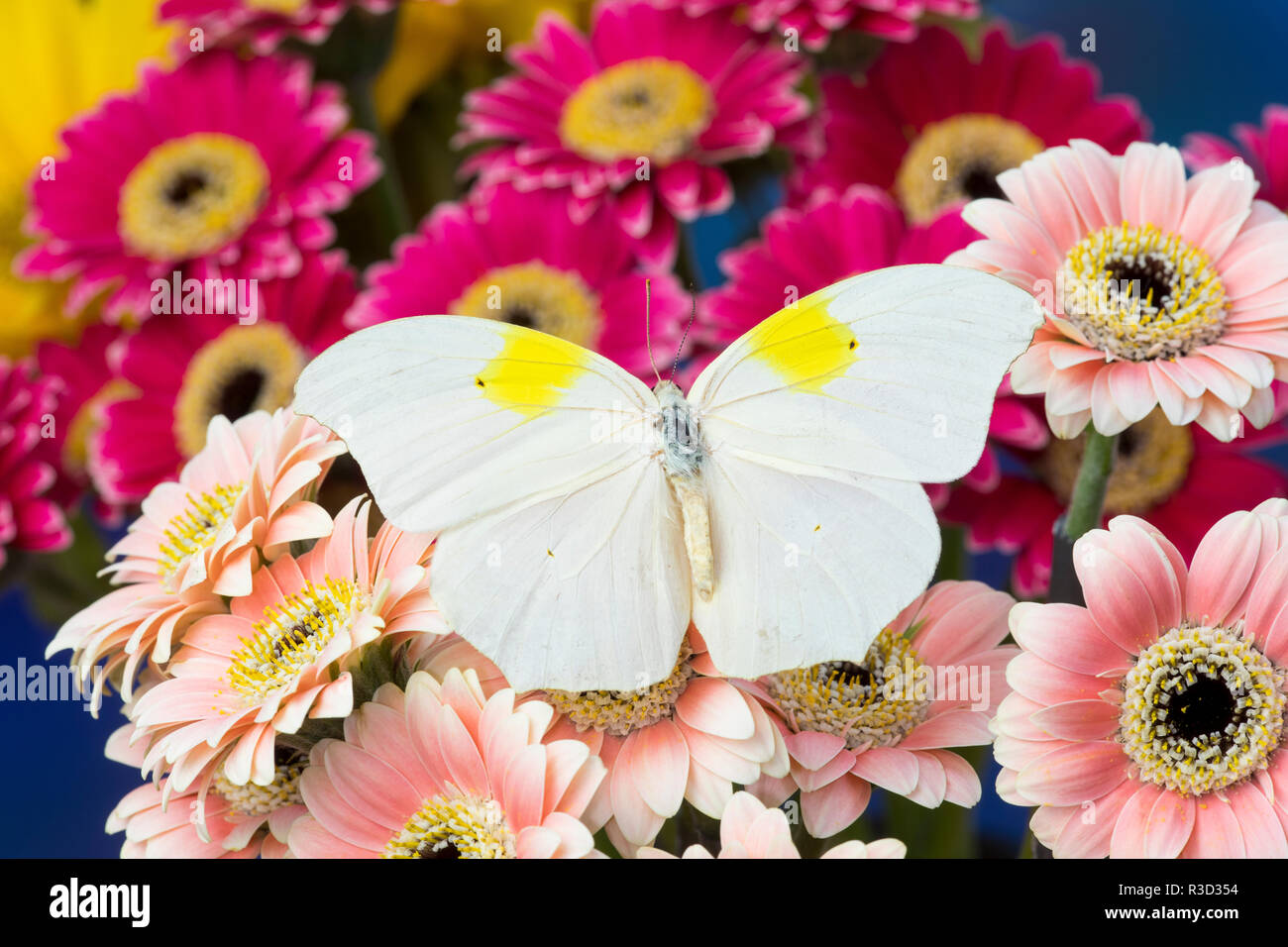 White angled-sulphur butterfly, Anteos clorinde on Gerber Daisies - Stock Image