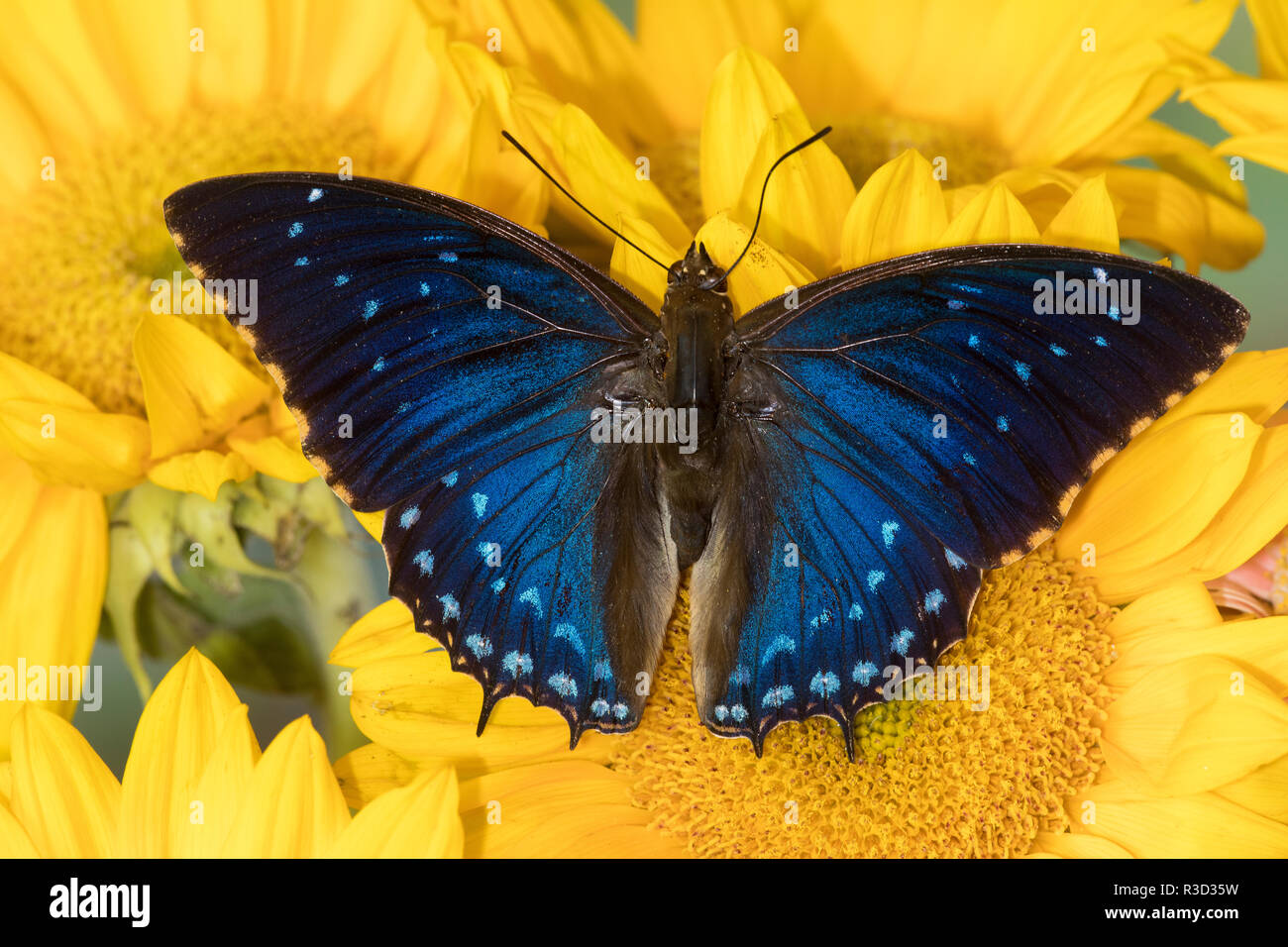 Charaxes a brush-footed butterfly know as emperors on sunflowers - Stock Image