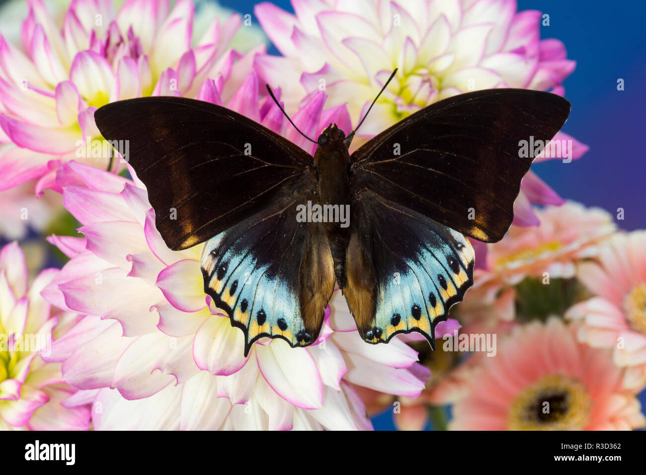 Tropical butterfly Charaxes eurialus from Indonesia on Dahlia Flowers - Stock Image