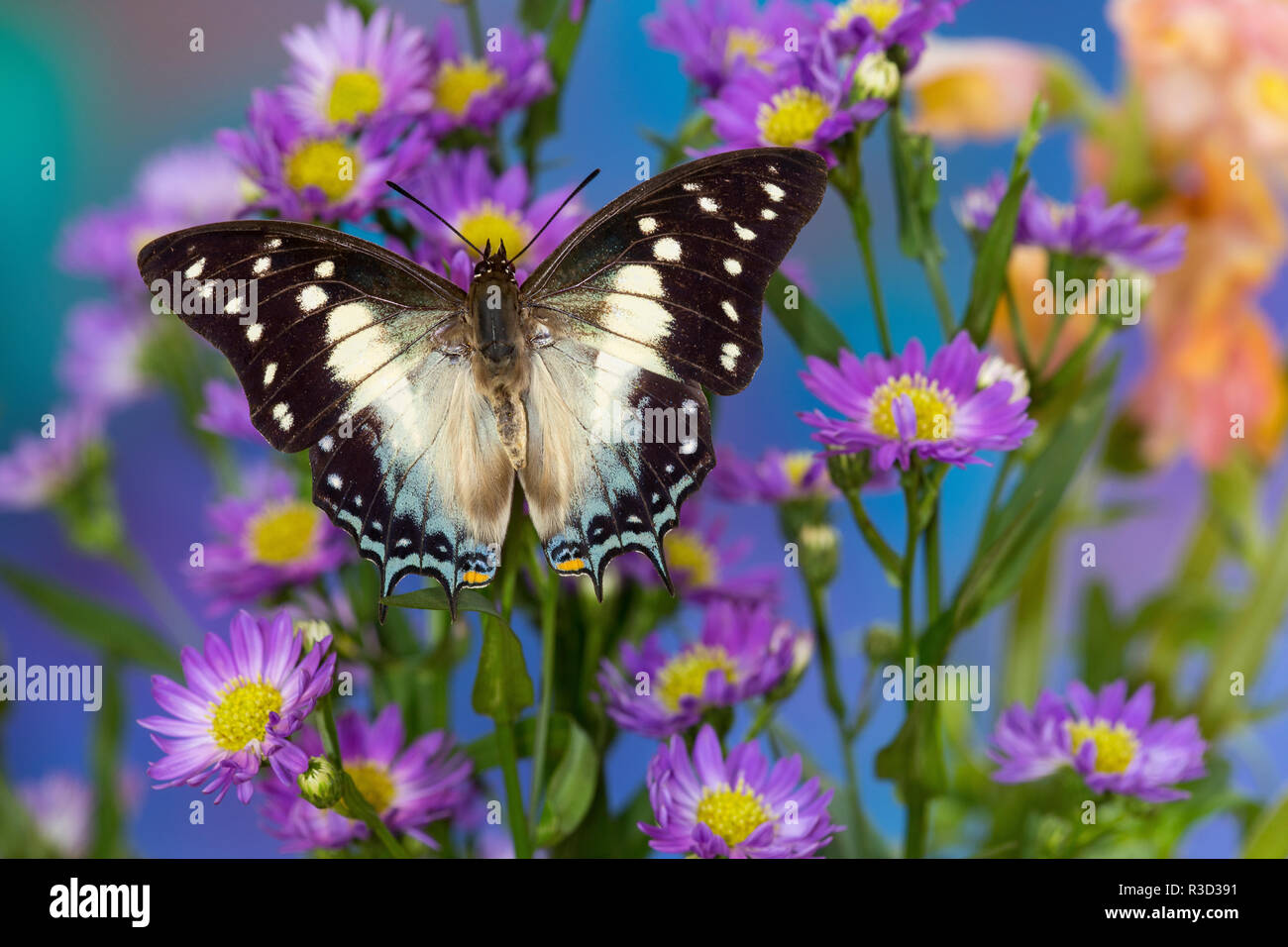 Tropical butterfly Polyura cognatus, Sulawesi blue nawab a Dagger Tailed Butterfly on blue Asters - Stock Image