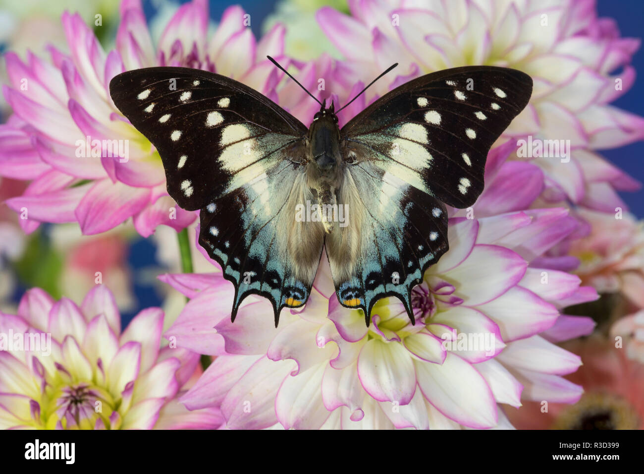 Tropical butterfly Polyura cognatus, Sulawesi blue nawab a Dagger Tailed Butterfly and Dahlias - Stock Image
