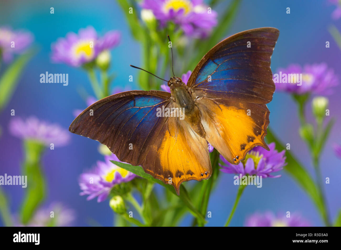 Brush-footed butterfly, Charaxes mars on Asters - Stock Image