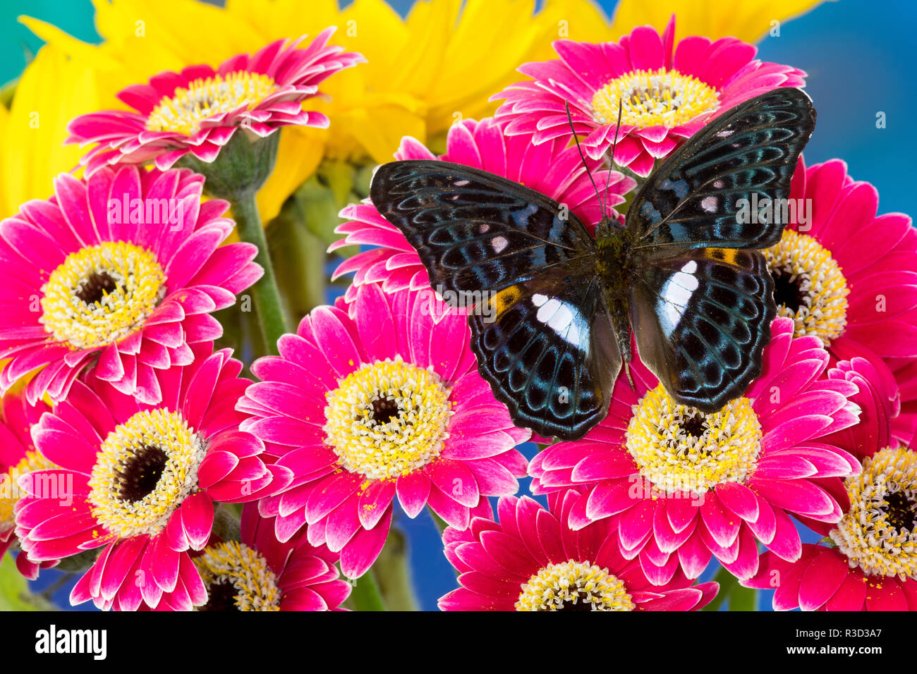 Moduza lymire lymire a south-east Asian butterfly on bright colored Gerber Daisies - Stock Image