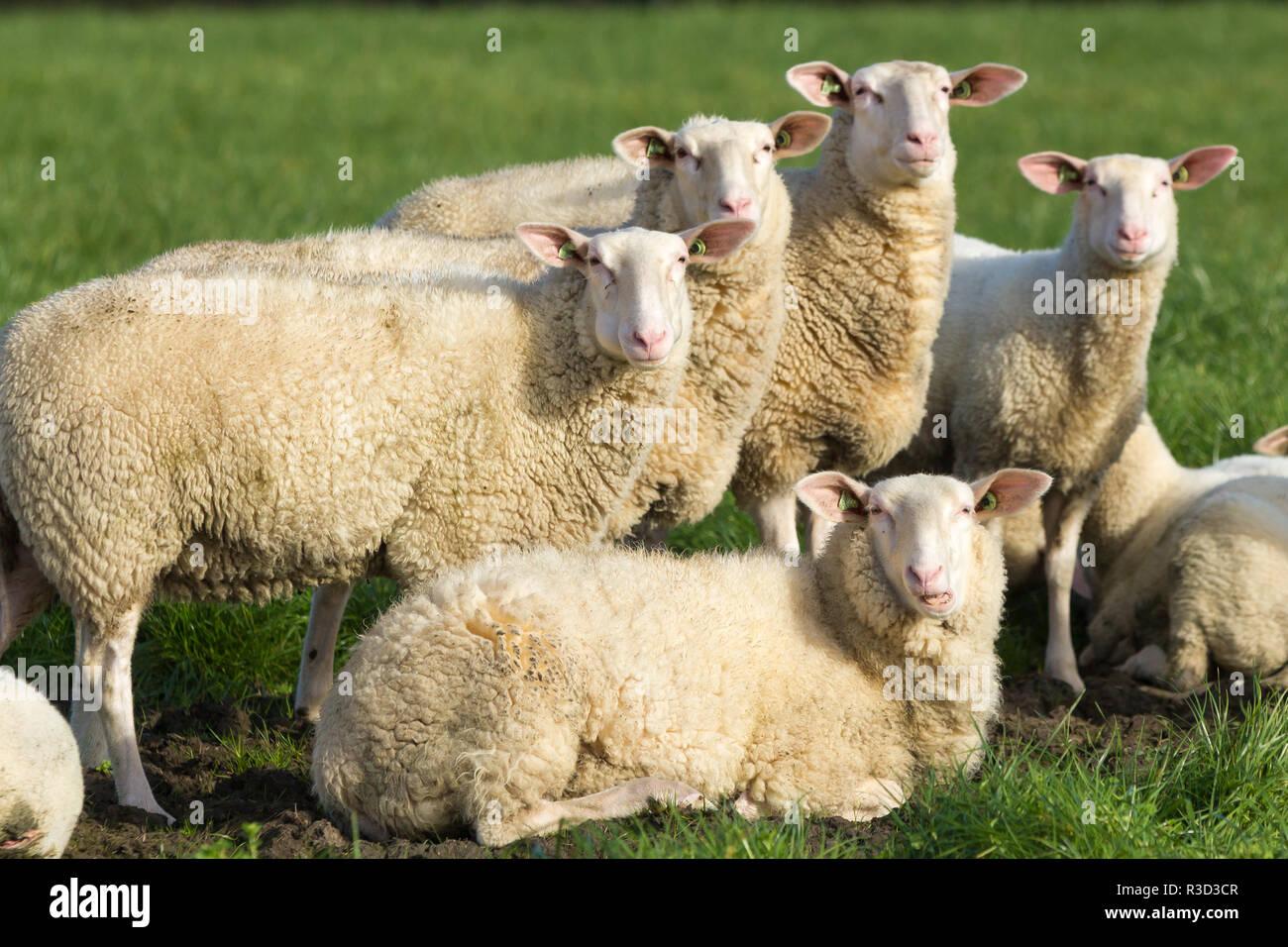 farm stock sheep looking alert at camera - Stock Image