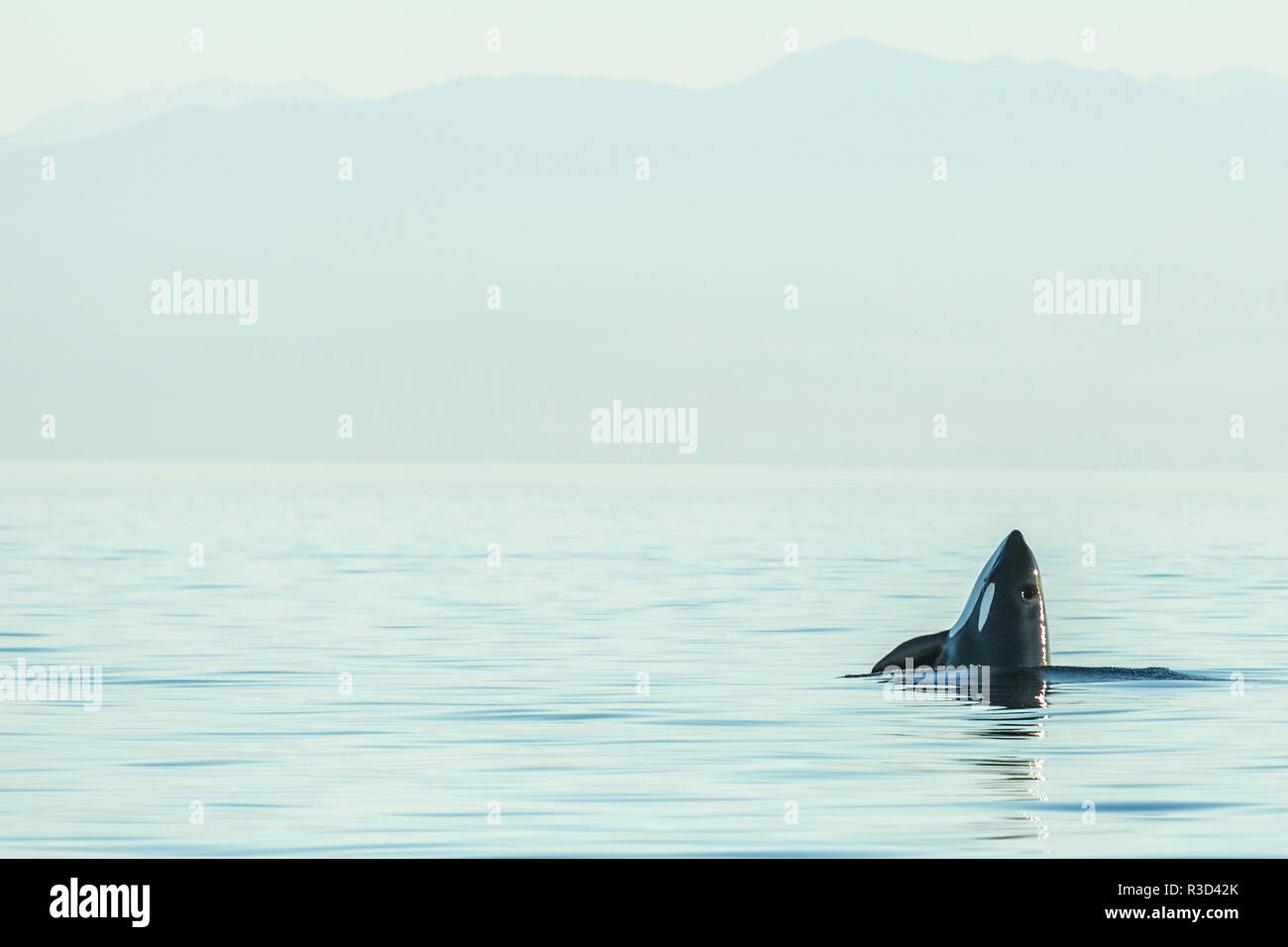 Spyhopping orca from Pod of resident Orca Whales (Orcinus orca) in Haro Strait near San Juan Island, WA, USA - Stock Image