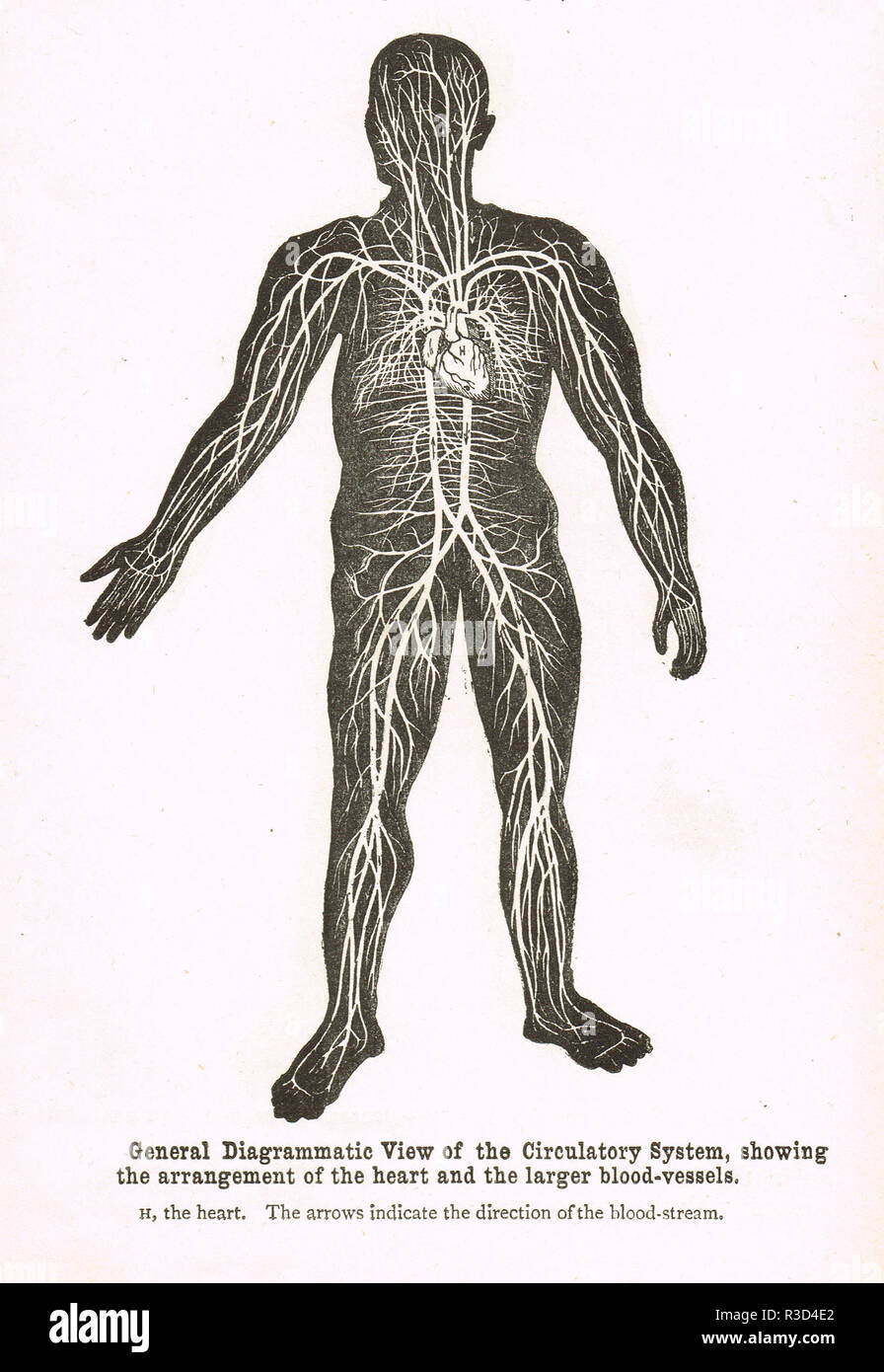 Circulatory system, human body, showing the arrangement of the heart and larger blood vessels.   A 19th century diagram - Stock Image