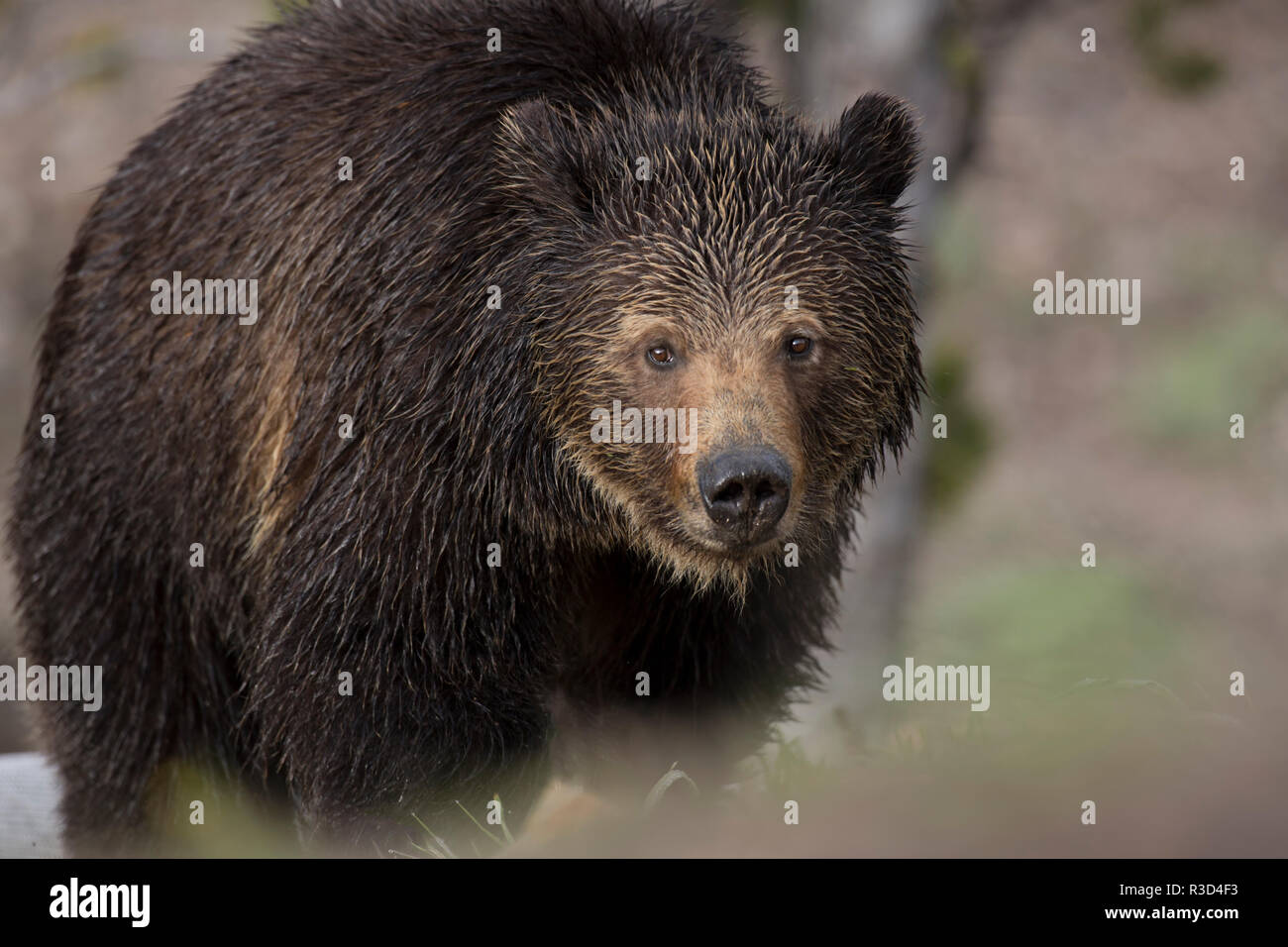 USA, Wyoming, Yellowstone National Park. Grizzly bear close-up. - Stock Image