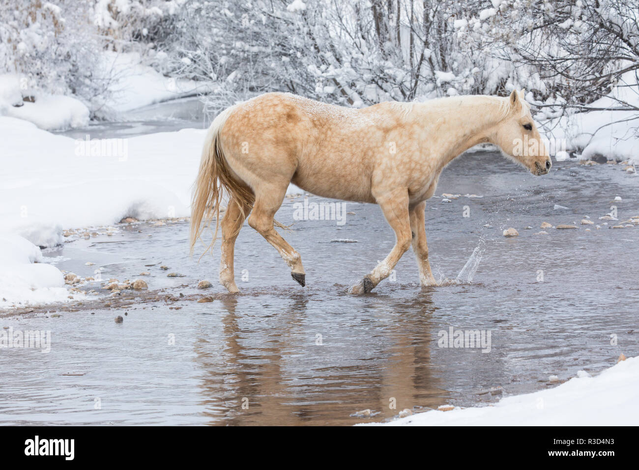 Wintertime Hideout Ranch, Wyoming with horses crossing Shell Creek (PR) - Stock Image