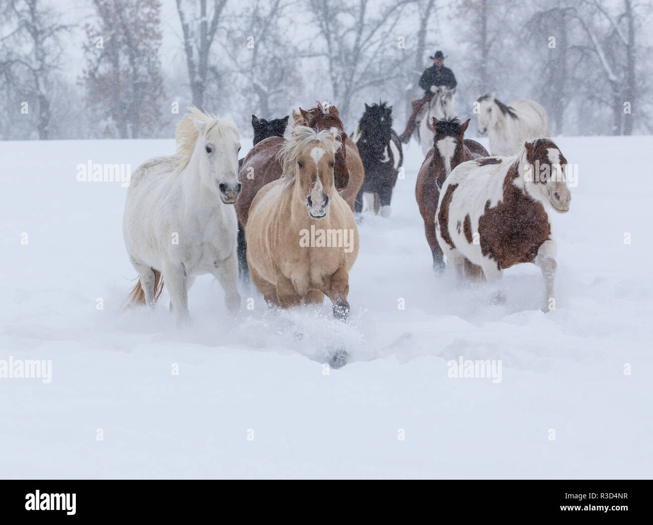 Horses running through snow, Hideout Ranch, Shell, Wyoming. (MR, PR) - Stock Image