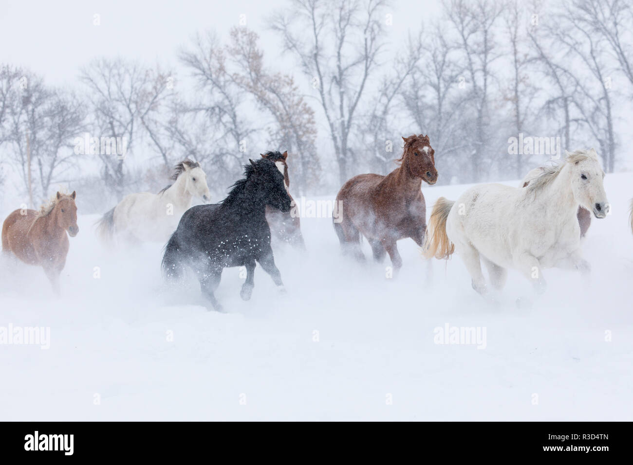 Hideout Ranch, Shell, Wyoming. Horse running through the snow. (PR) - Stock Image