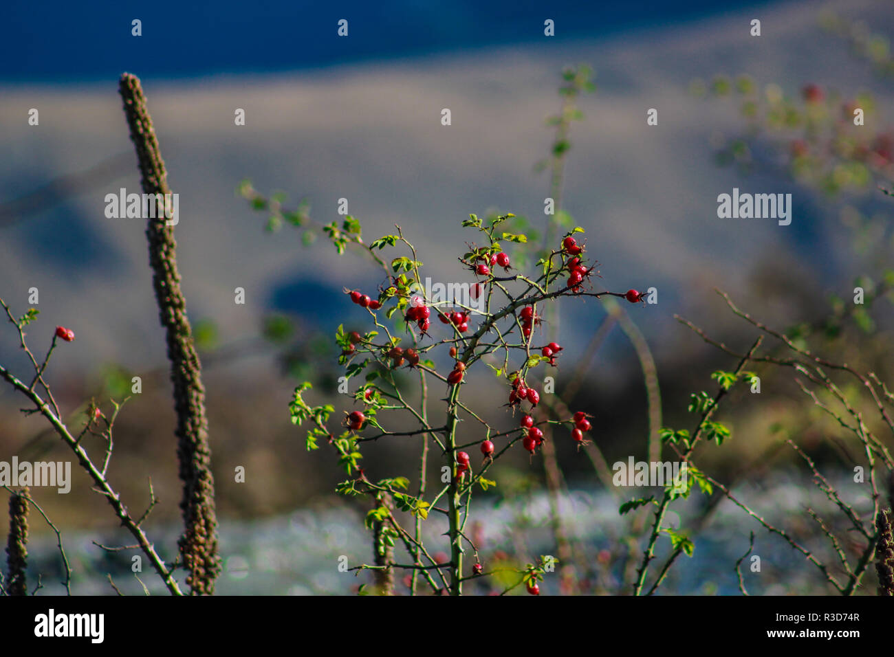 rose hip plant in front of blurred mountain background, Ashburton Lakes District, New Zealand - Stock Image
