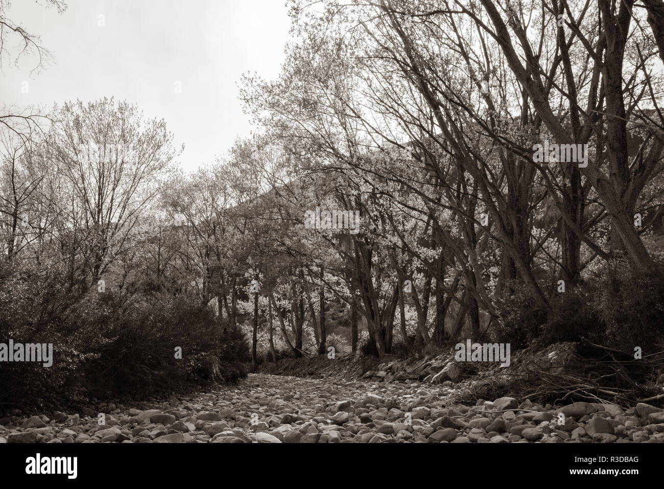 Trees in new spring growth lining dry river bed in sepia tones - Stock Image