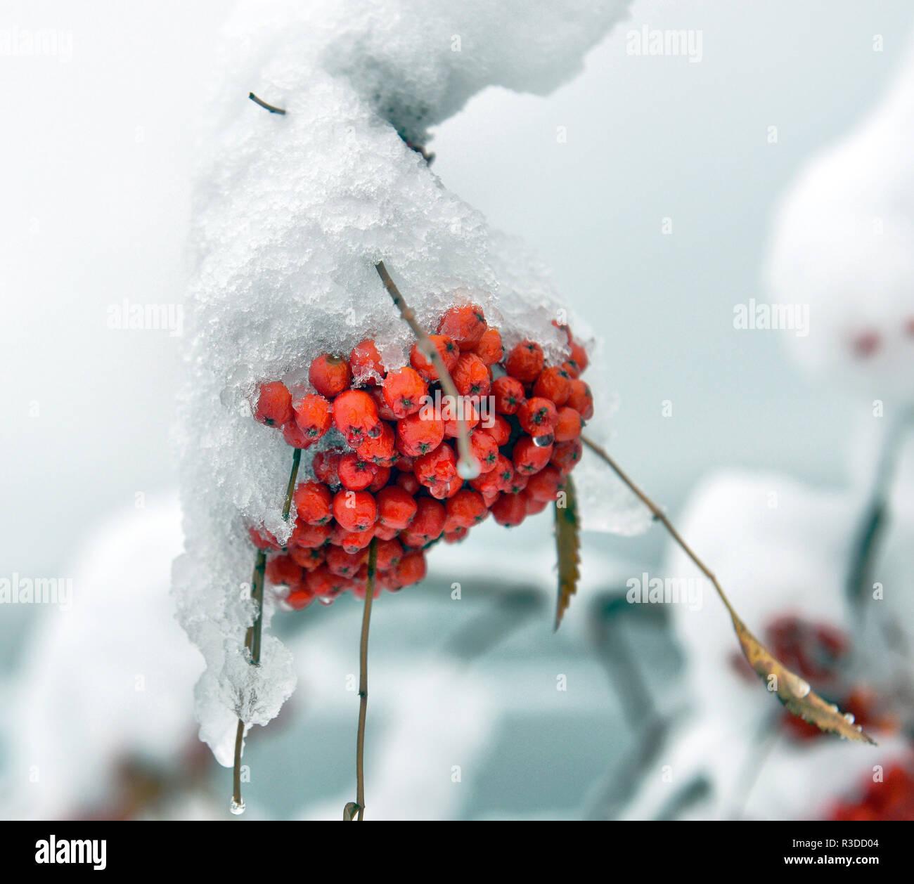Frozen brunches of rowan berries under snow - Stock Image
