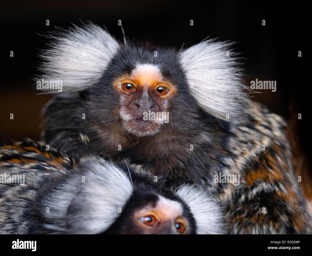 Common marmoset Callithrix jacchus           CAPTIVE - Stock Image