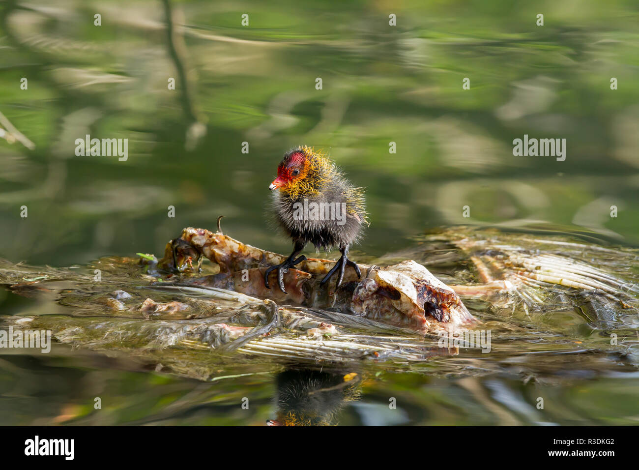 Circle of life - A Eurasian coot chick riding a carcass of another sea bird in a lake oblivious to raft it is using. - Stock Image