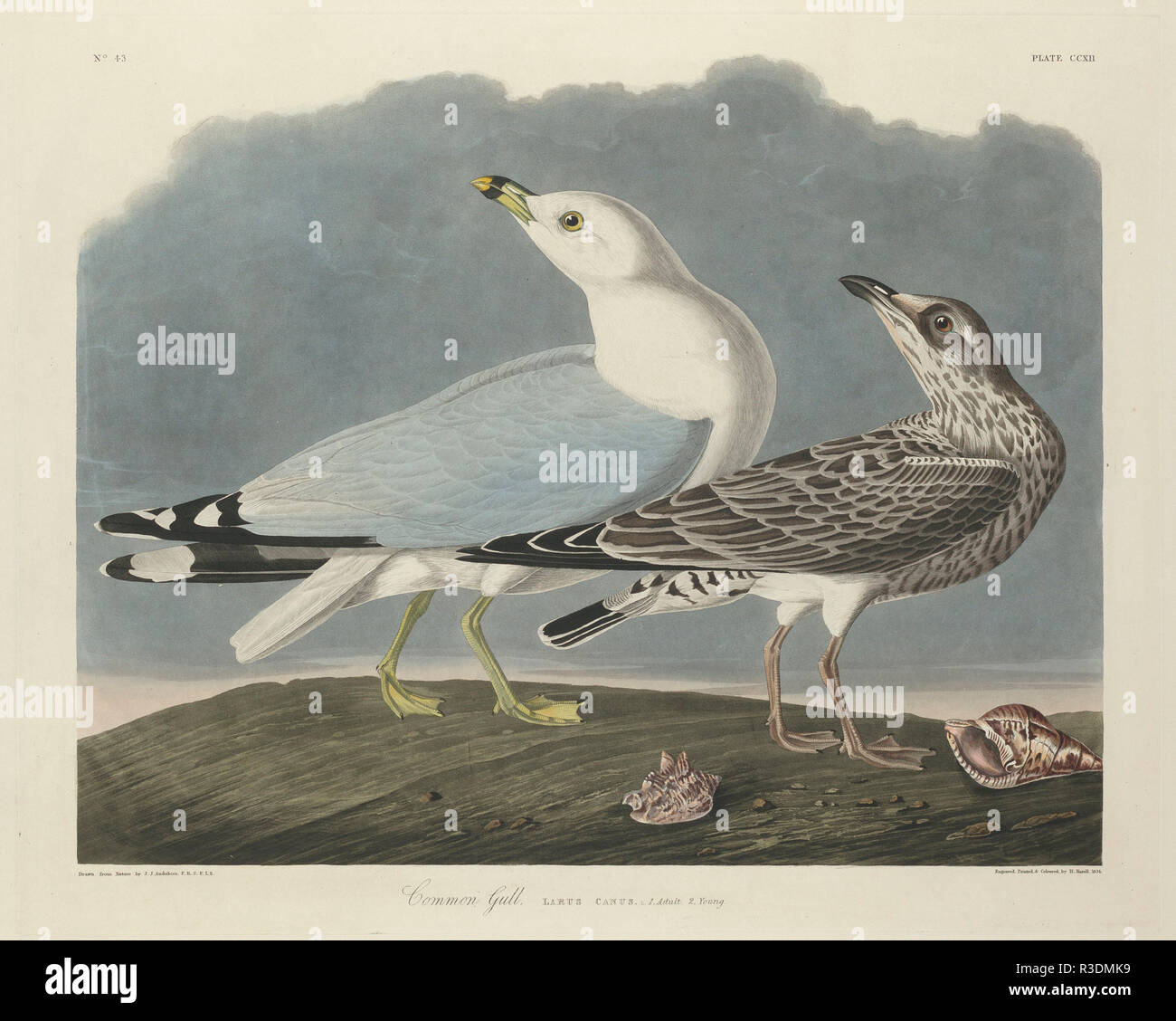 Common Gull. Dated: 1834. Medium: hand-colored etching and aquatint on Whatman paper. Museum: National Gallery of Art, Washington DC. Author: Robert Havell after John James Audubon. AUDUBON, JOHN JAMES. - Stock Image