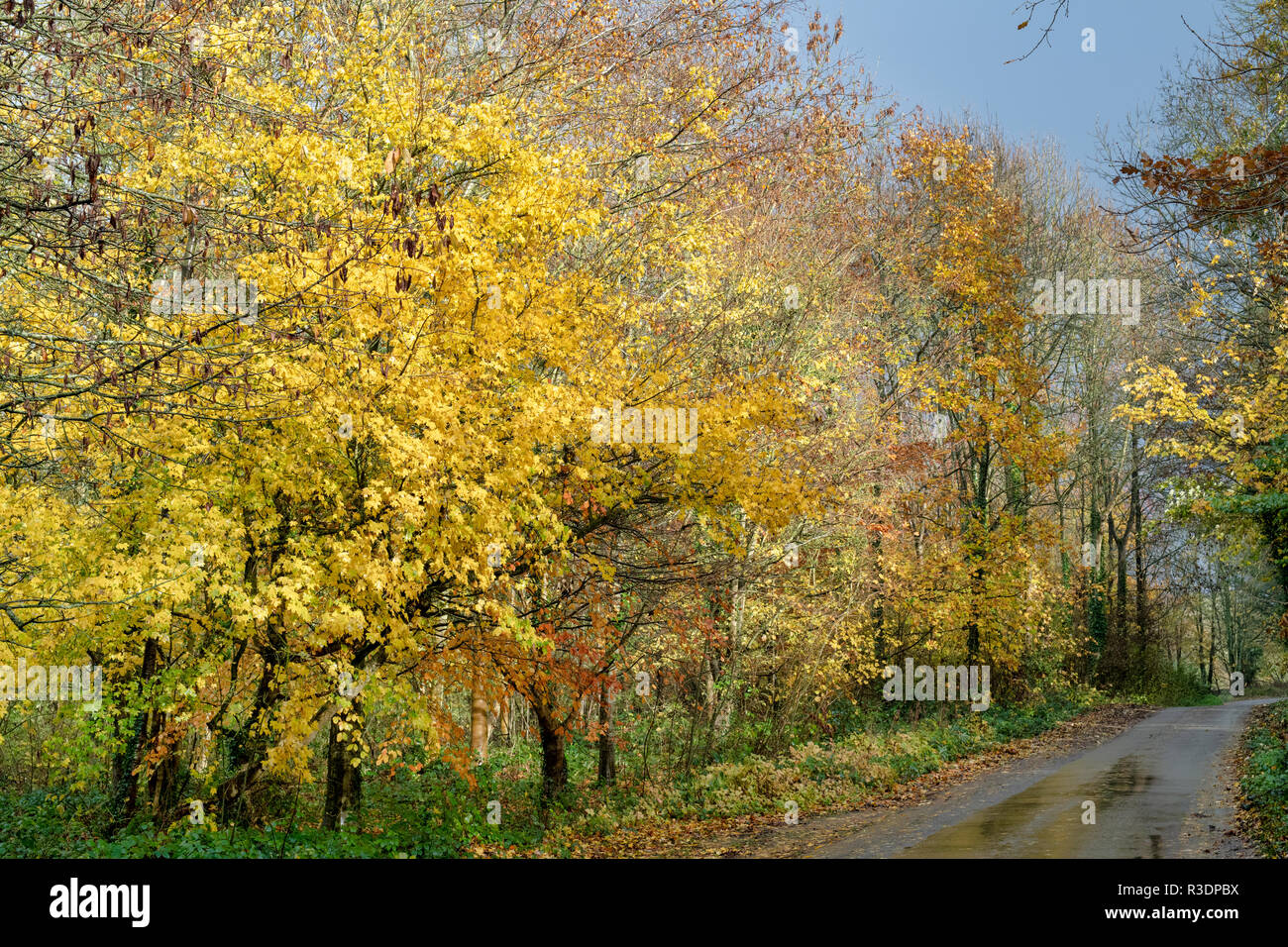 Acer campestre. Autumn Field maple trees along a road through Newbottle woods in the autumn. Kings Sutton, Northamptonshire, England - Stock Image