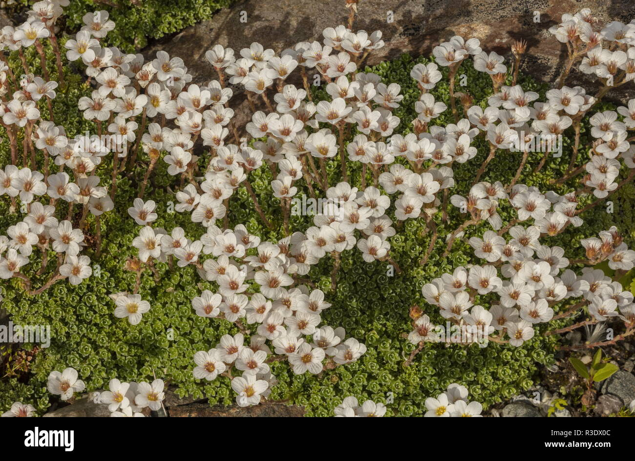 Kabschia Saxifrage, Saxifraga marginata, in flower; from the Balkans and Italy. - Stock Image