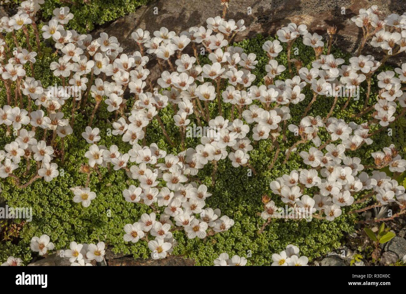 Kabschia Saxifrage, Saxifraga marginata, in flower; from the Balkans and Italy. Stock Photo