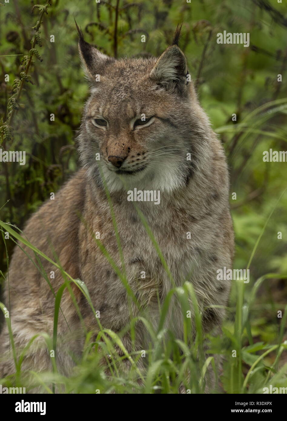 Eurasian lynx, Lynx lynx, in boreal woodland, Scandinavia. - Stock Image