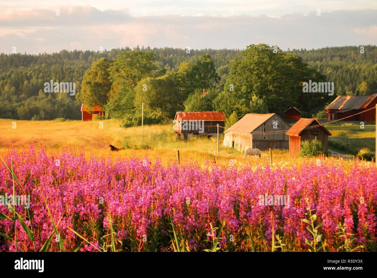Pink flowers by the swedish countryside - Stock Image