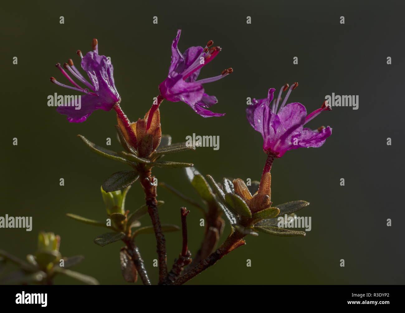 Lapland Rhododendron, Rhododendron lapponicum in flower in spring; Abisko, arctic Sweden. - Stock Image