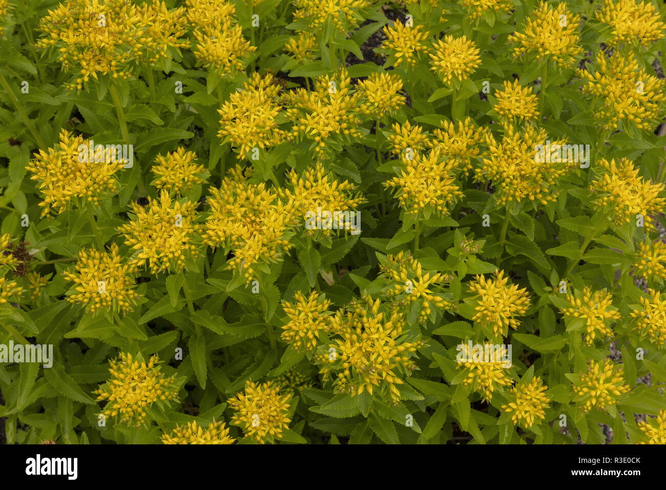 Aizoon stonecrop, Sedum aizoon, in cultivation; from Japan and eastern Asia. - Stock Image