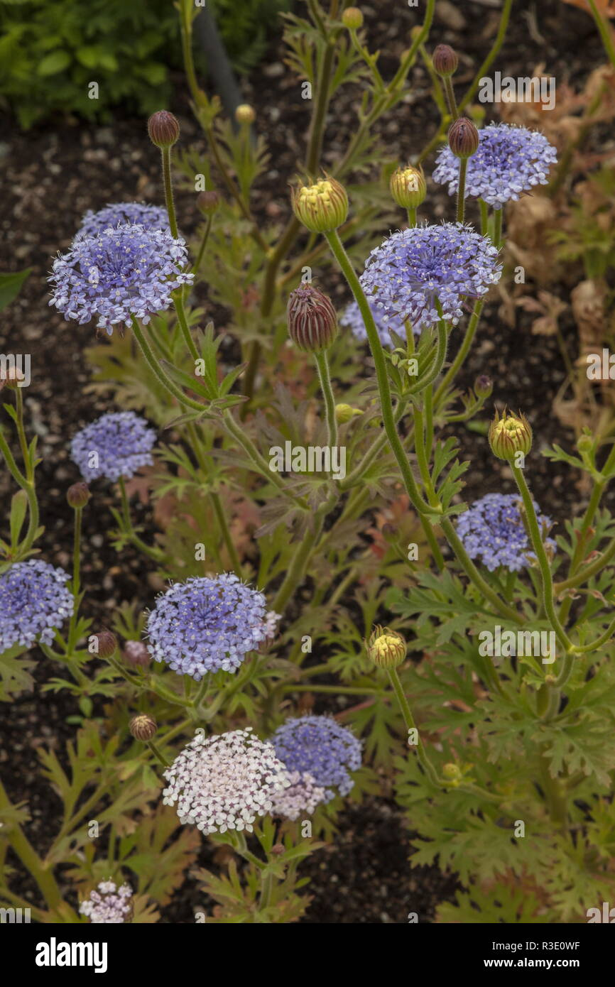 DIDISCUS CAERULEA 'LACY MIX, Blue Lace, in cultivation. Stock Photo