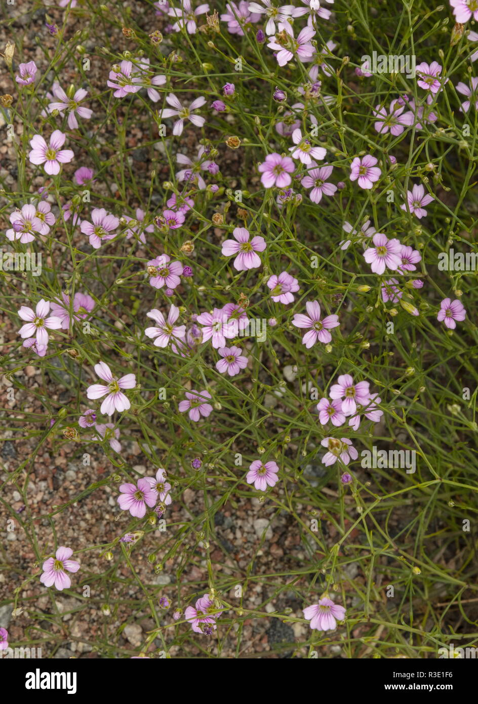 Tunic flower, Petrorhagia saxifraga in flower; southern Europe. - Stock Image