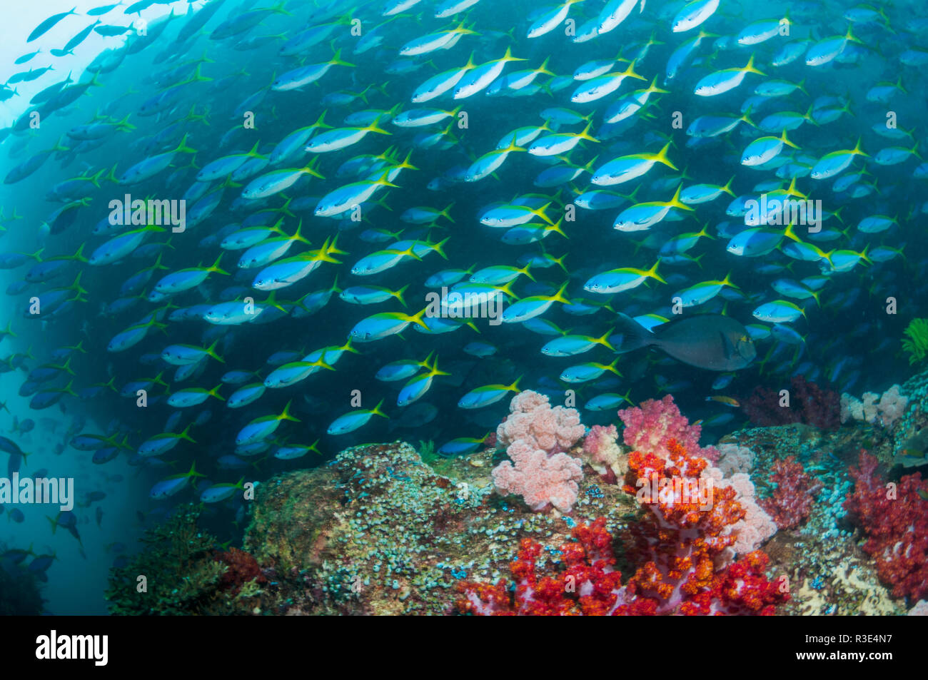 School of Yellowback fusiliers [Ceasio teres] over coral reef with soft corals.  West Papua, Indonesia. Stock Photo