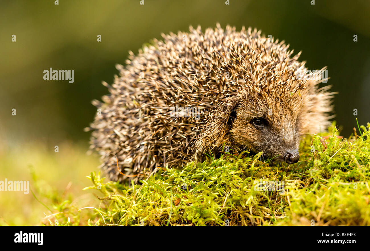 Hedgehog (Erinaceus Europaeus) Wild, native hedgehog in natural woodland habitat on green moss.  Facing right.  Blurred background. Landscape - Stock Image