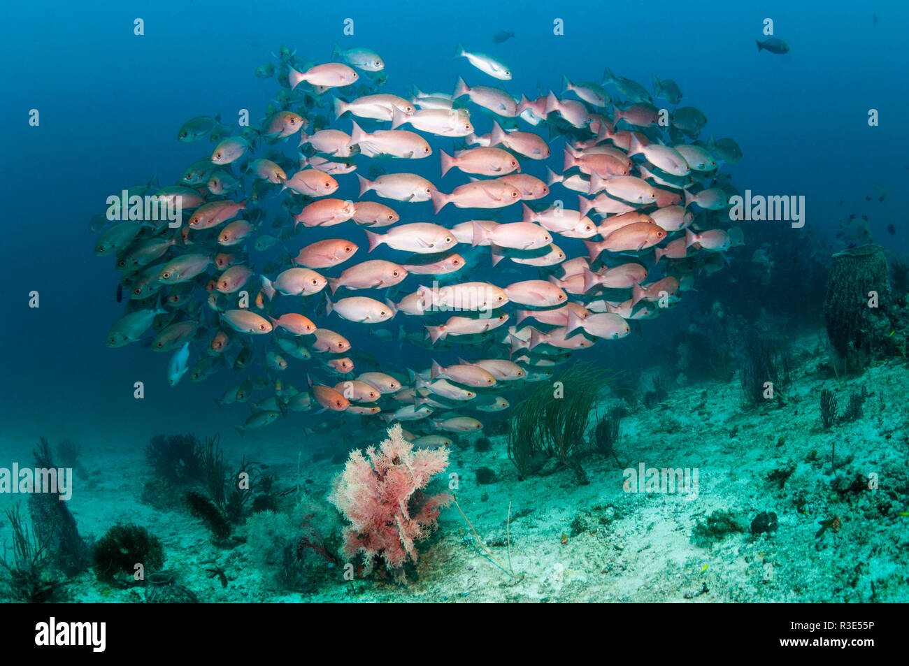 Shoal of Slender pinjalo snappers, White-spot pinjalo snapper or Red pinjalo [Pinjalo lewisi.  West Papua, Indonesia. Stock Photo