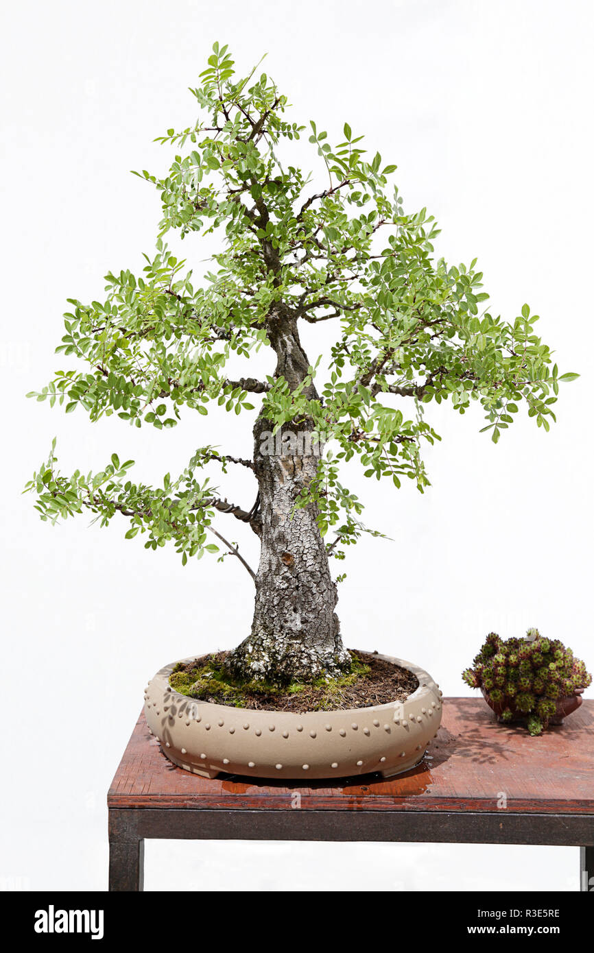 Common Ash Fraxinus Excelsior Bonsai On A Wooden Table And White Background Stock Photo Alamy