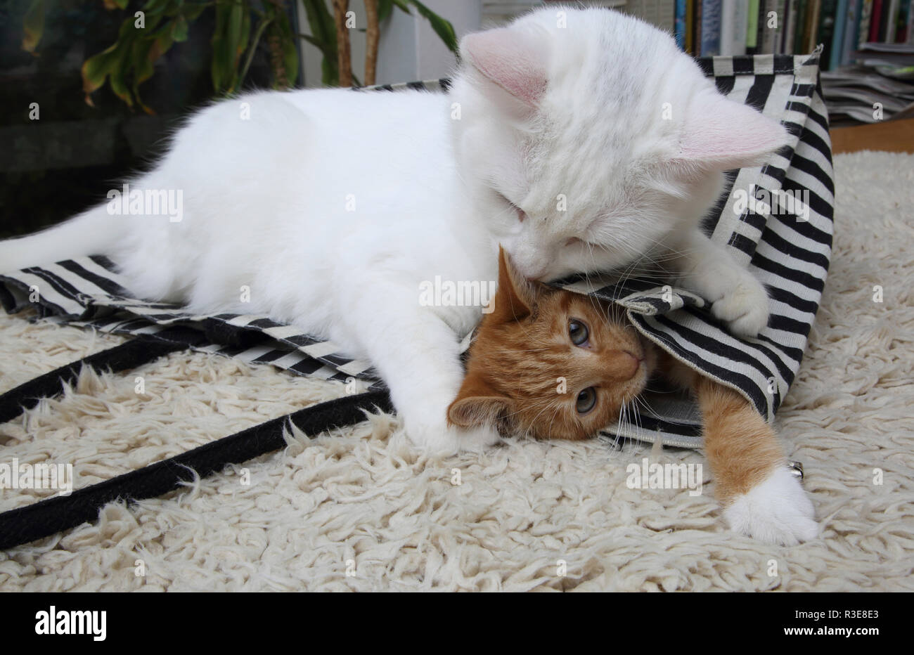 White Turkish Angora Cat Playing With A Ginger Kitten Trapping Him