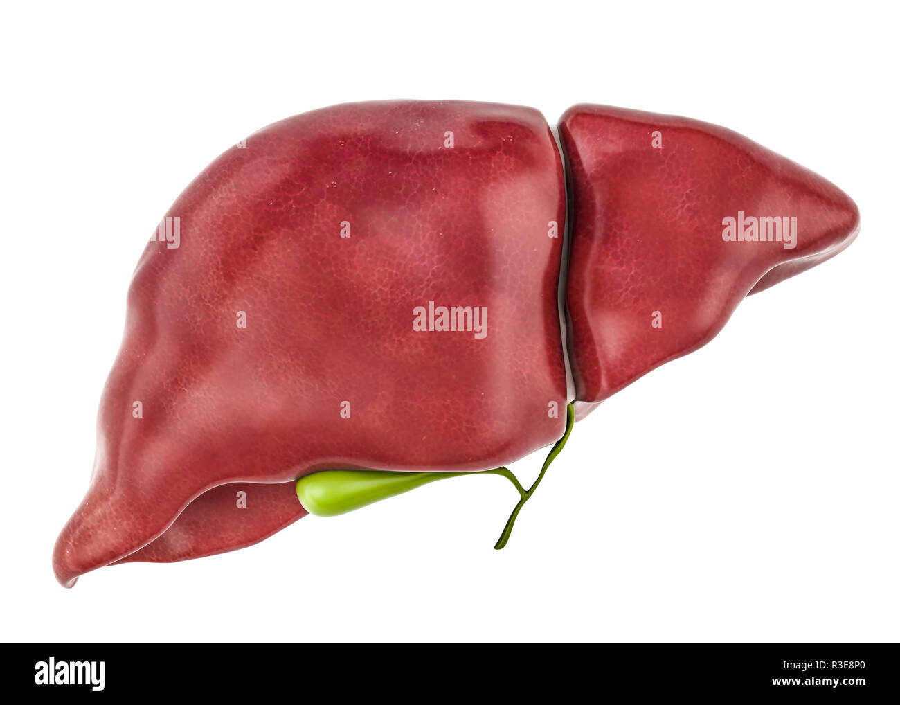 Healthy human liver with gallbladder, 3D rendering isolated on white background Stock Photo