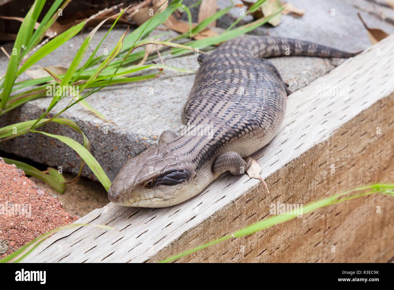 Australian Eastern Blue Tongue Lizard closeup in natural outdoor environment seeking food and shelter - Stock Image