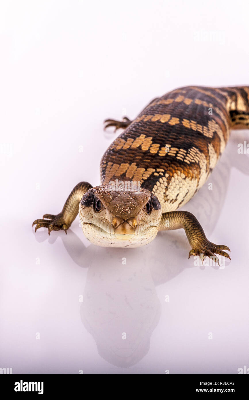 Australian Adolescent Eastern Blue Tongue Lizard selective focus, closeup glaring at the viewer in 'I dare you' defence isolated on white background - Stock Image