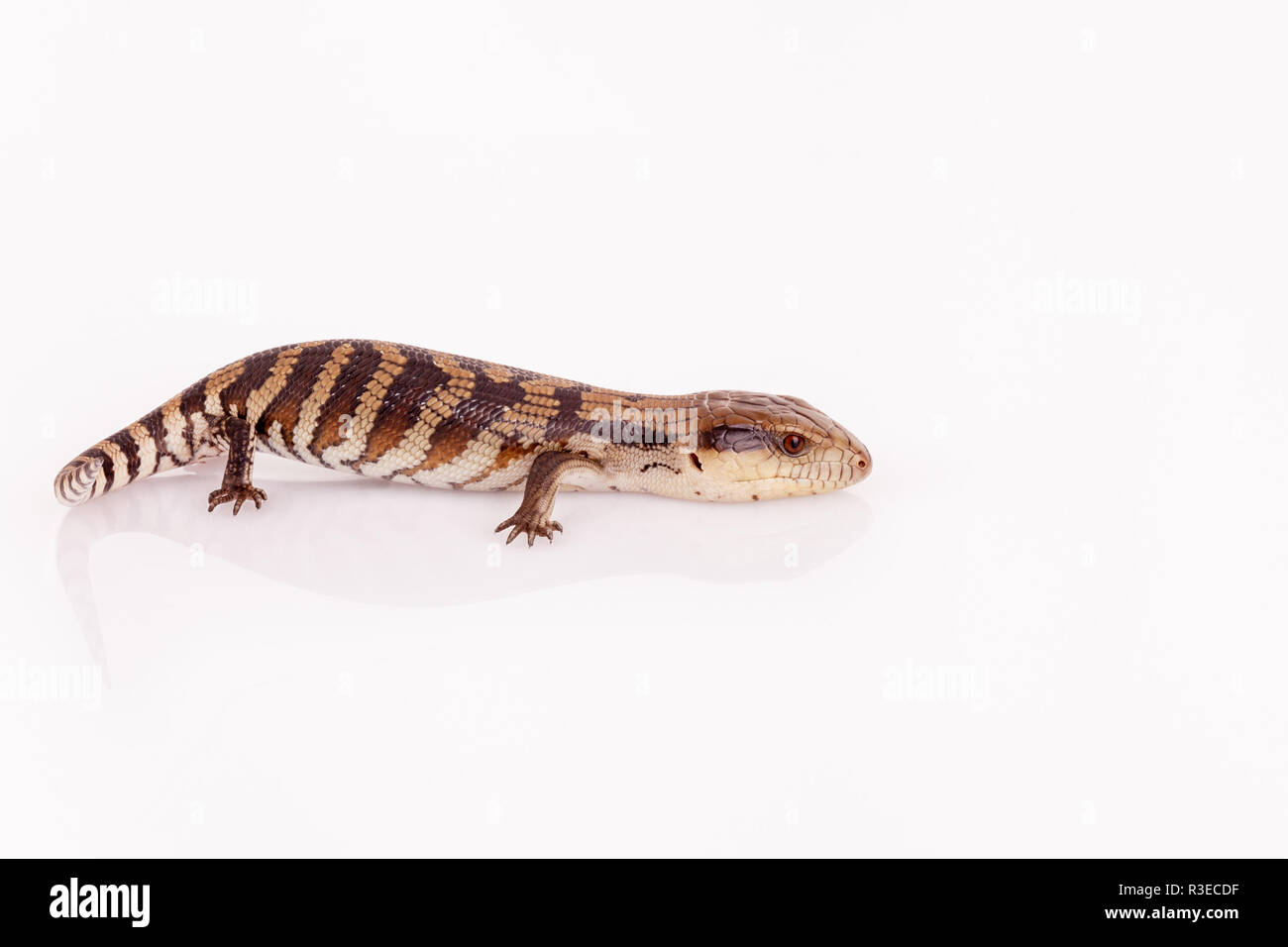 Australian Baby Eastern Blue Tongue Lizard closeup walking on reflective white perspex base isolated against white background in landscape format - Stock Image