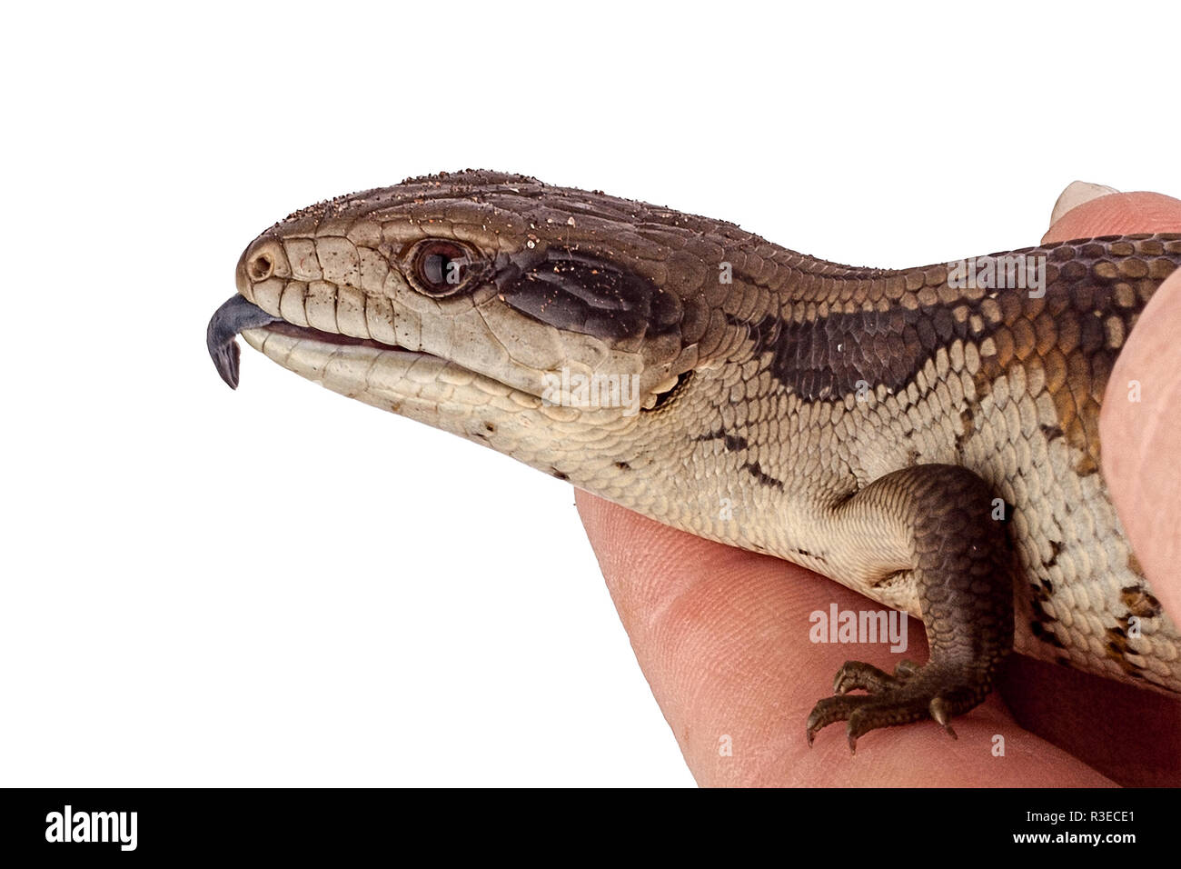 Australian Adolescent Eastern Blue Tongue Lizard showing blue tongue in defence - closeup isolated on white background - Stock Image