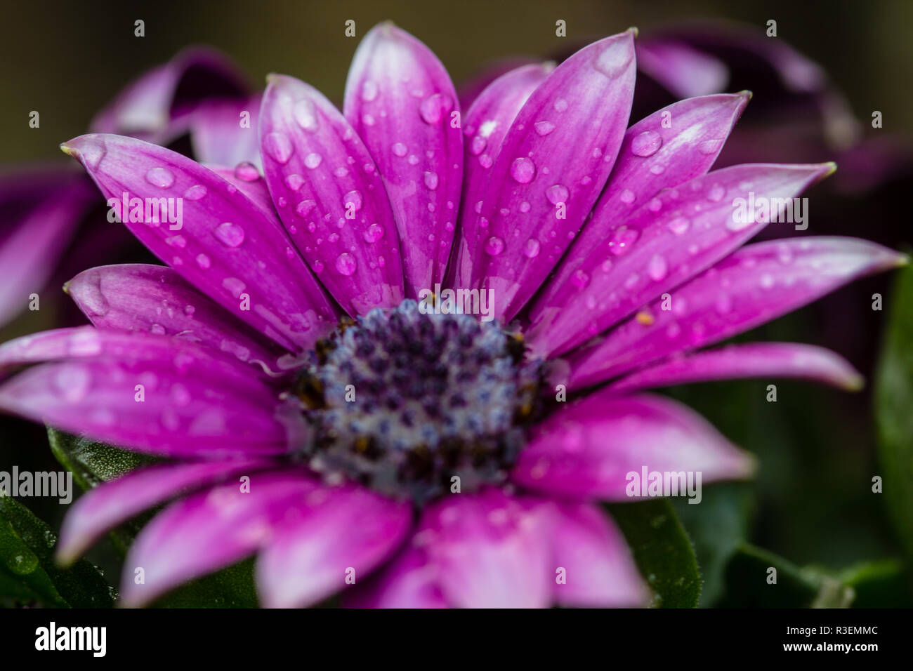 Blüte im Garten nach dem Regen - Stock Image