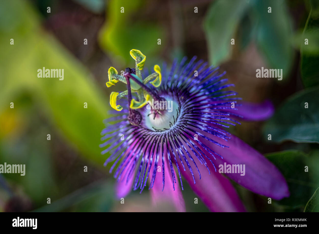 Blüte einer Passionsblume - Stock Image