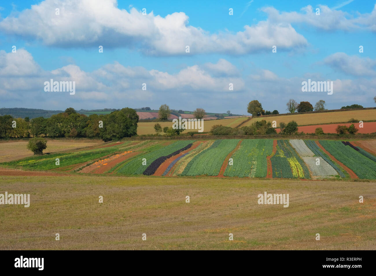 Variety of vegetables, including pumpkins, growing in a Devon field,UK - John Gollop - Stock Image