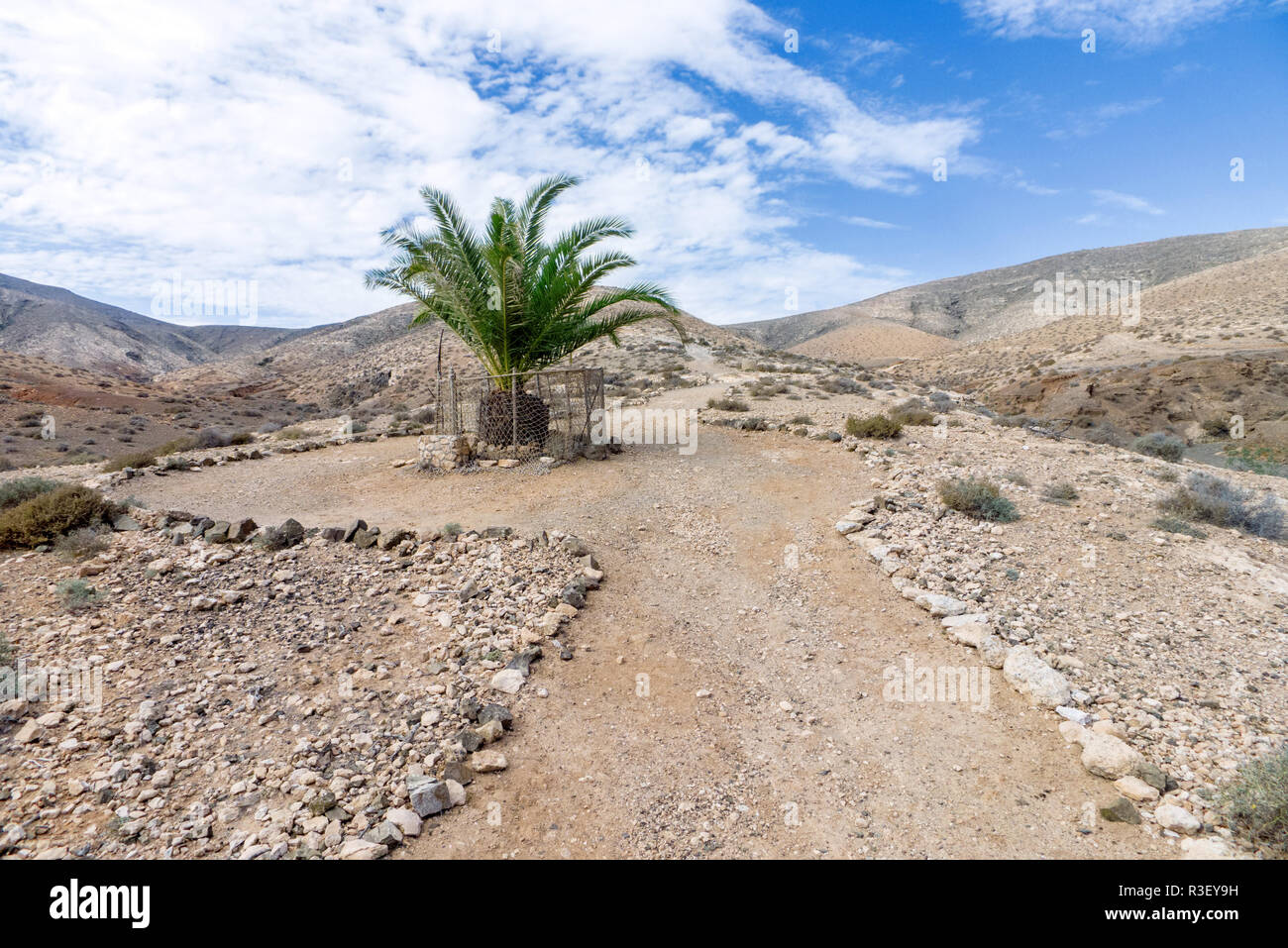 fuerteventura - single palm tree in cardon solid Stock Photo