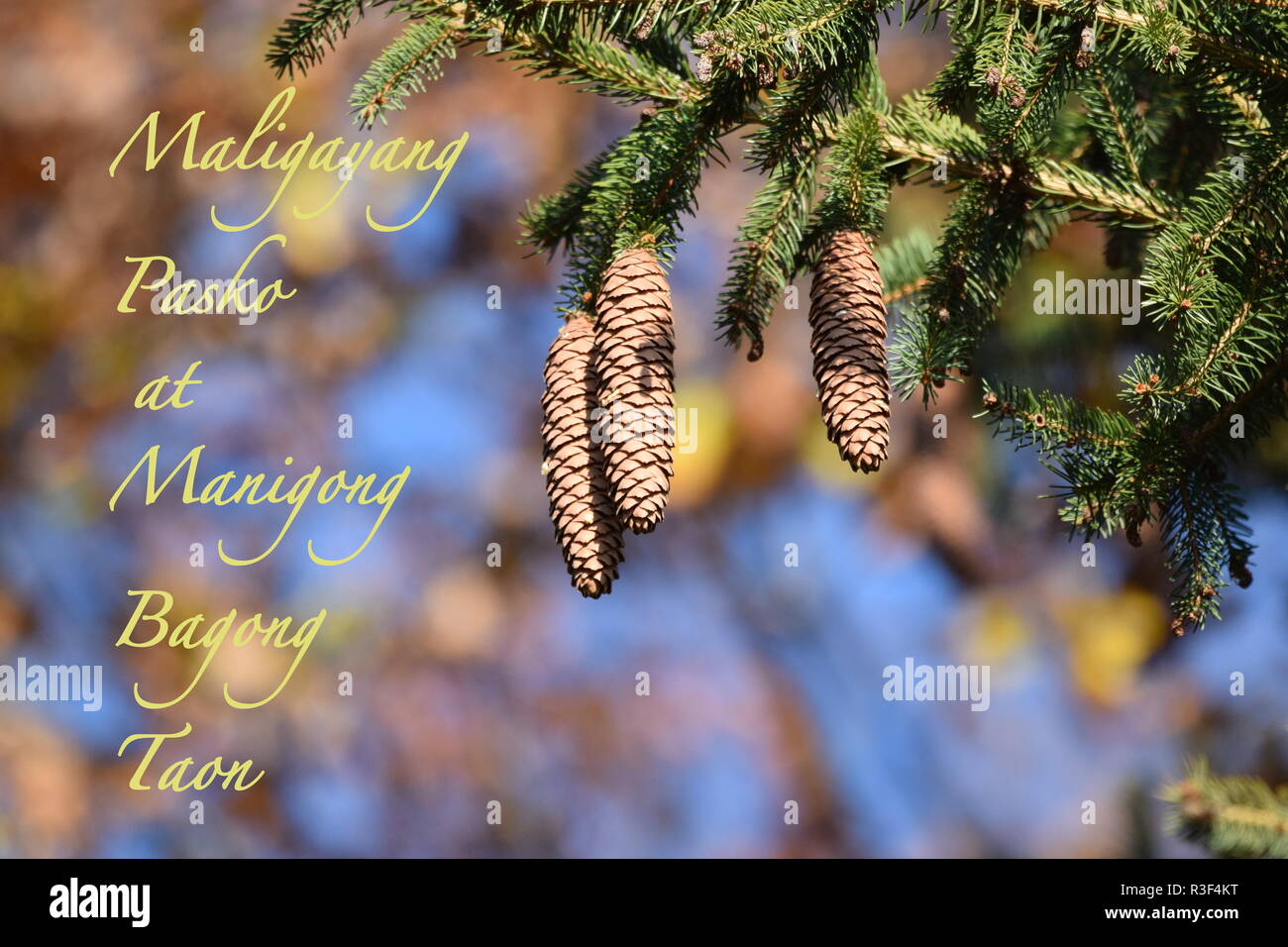 Close-up view of a mountain pine tree branch with fir cone hanging on branches, Christmas & New Year holiday's concept, Merry Xmas and Happy New Year. - Stock Image