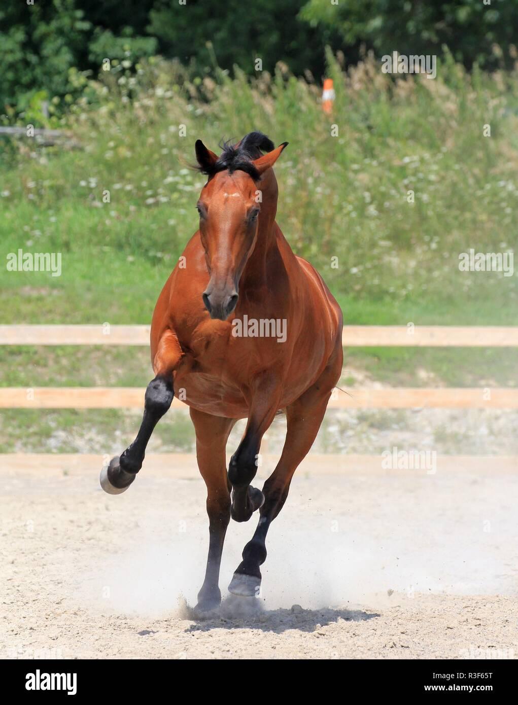 Galloping horse - Stock Image