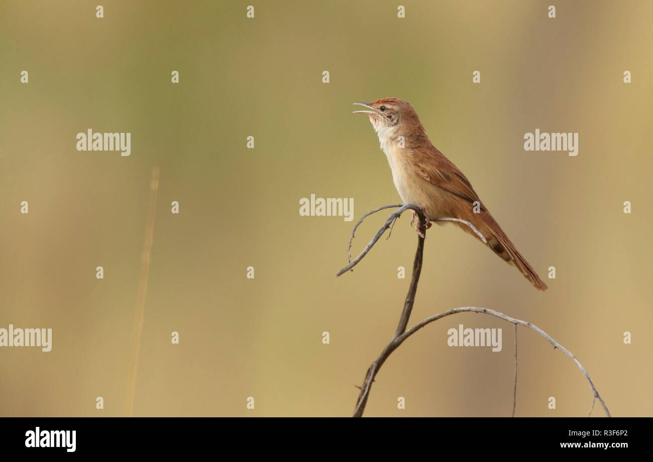 A Spinifexbird, Eremiornis carteri, perched on a thin twig chirping with its beak open and copy space - Stock Image