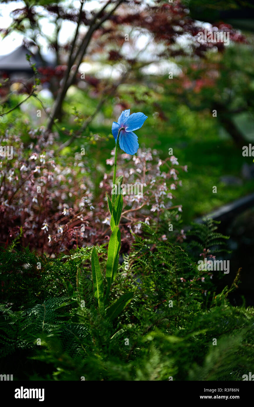 Meconopsis betonicifolia,blue poppy,Himalayan poppies,flower,flowers,shade,shady,shaded,garden,RM Floral - Stock Image
