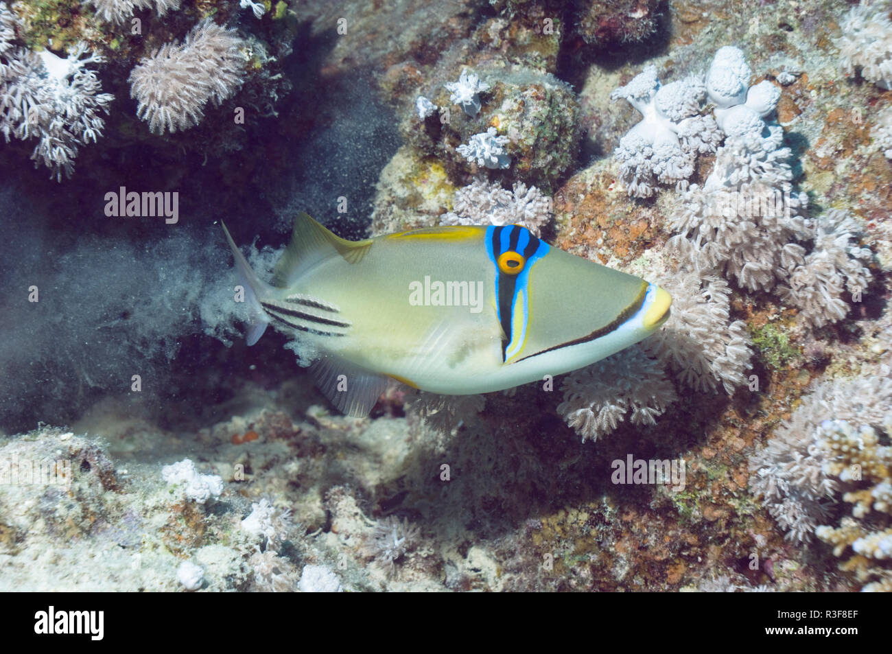 Picasso triggerfish (Rhinecanthus assasi) expels sand from gills after feeding.  Red Sea to Yemen.   Egypt, Red Sea. - Stock Image