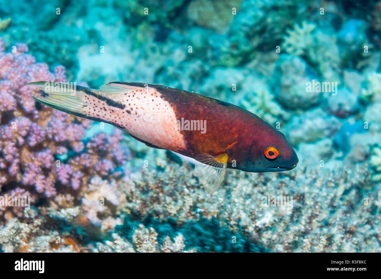 Lyretail hogfish [Bodianus anthioides],  Egypt, Red Sea. - Stock Image